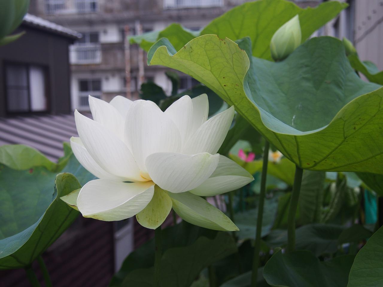 20170708-Lotus_Shinnyoren-O01.jpg