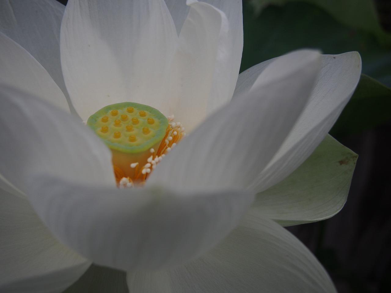 20170708-Lotus_Shinnyoren-O02.jpg