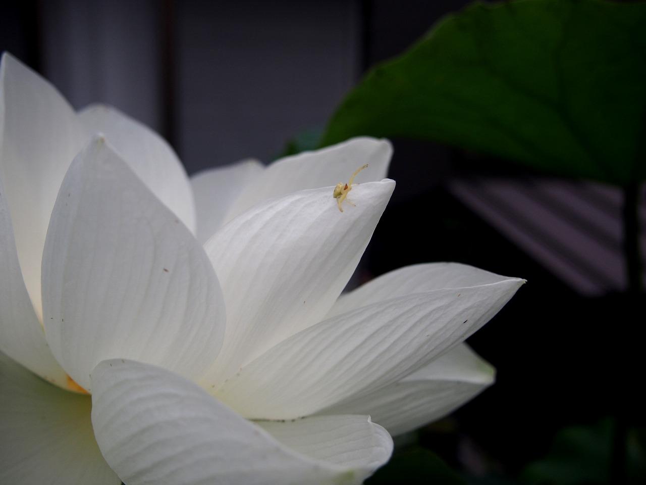 20170712-Lotus_Shinnyoren-O01.jpg