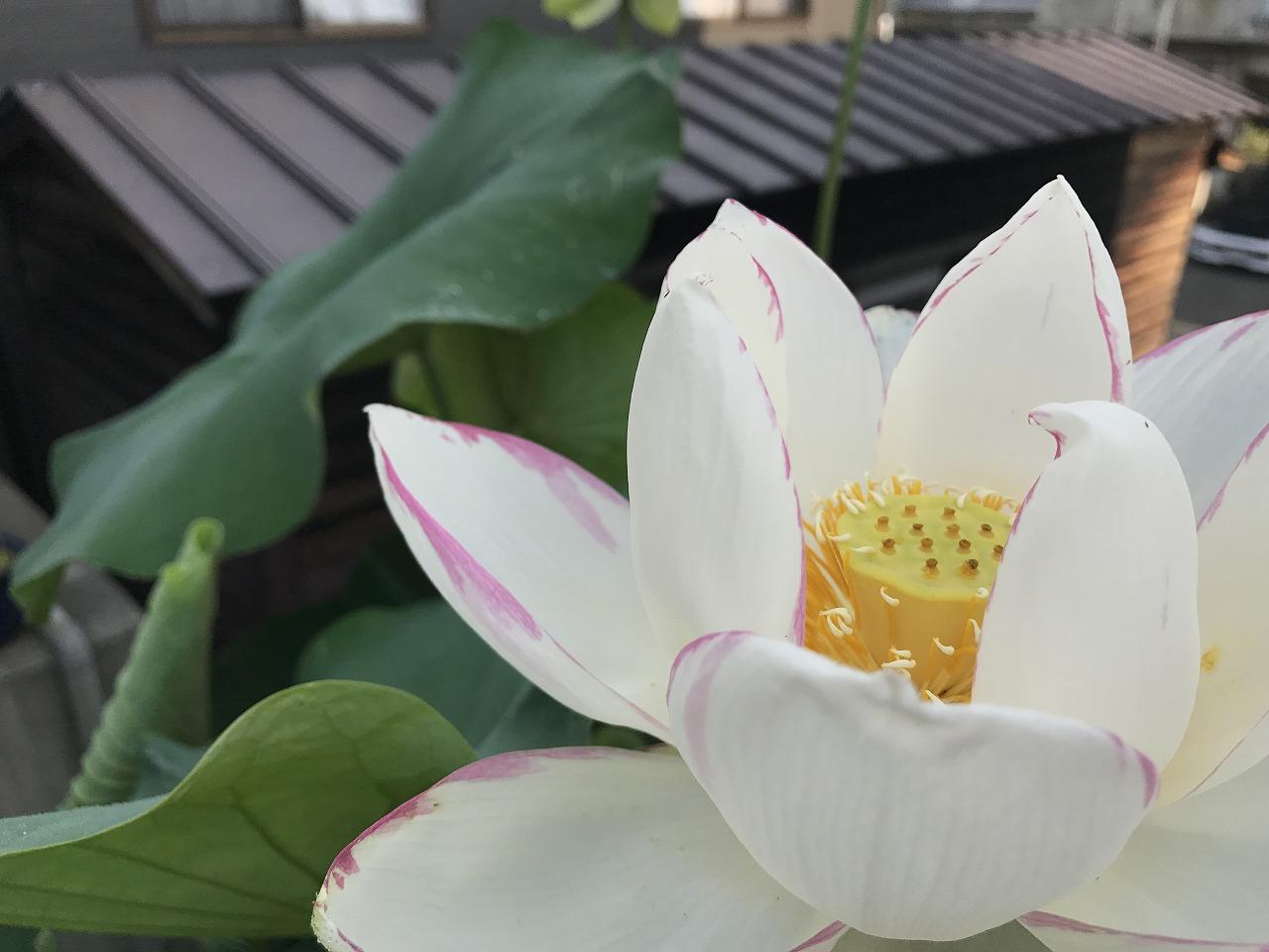 20170714-Lotus_Ittenshikai-I02.jpg