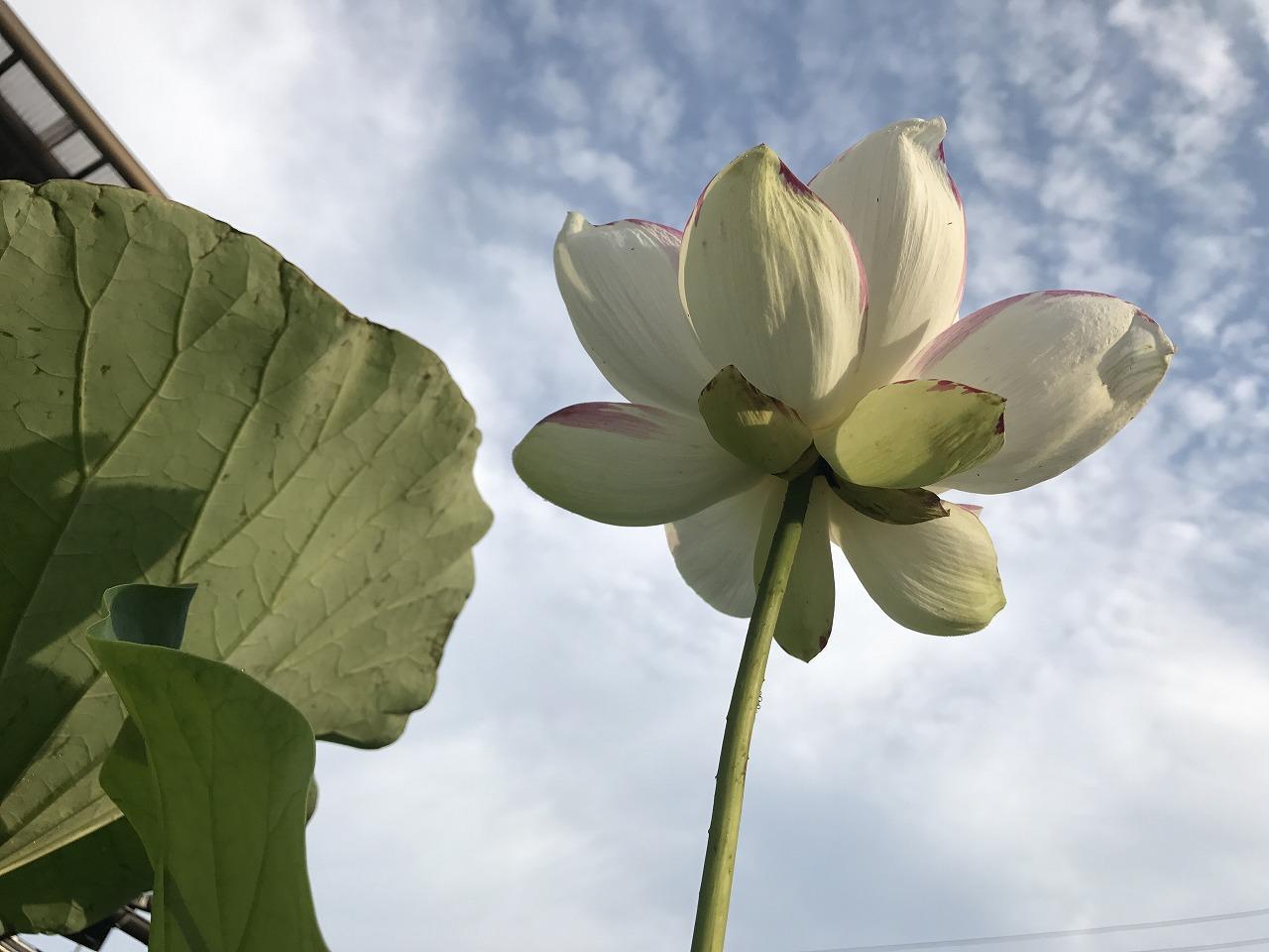 20170714-Lotus_Tenjikumadarabasu-I04.jpg