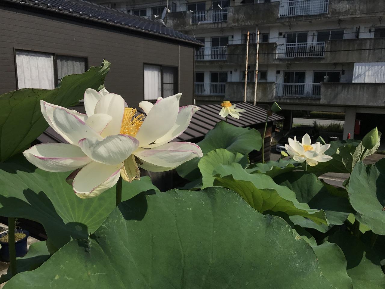 20170715-Lotus_Tenjikumadarabasu-I02.jpg