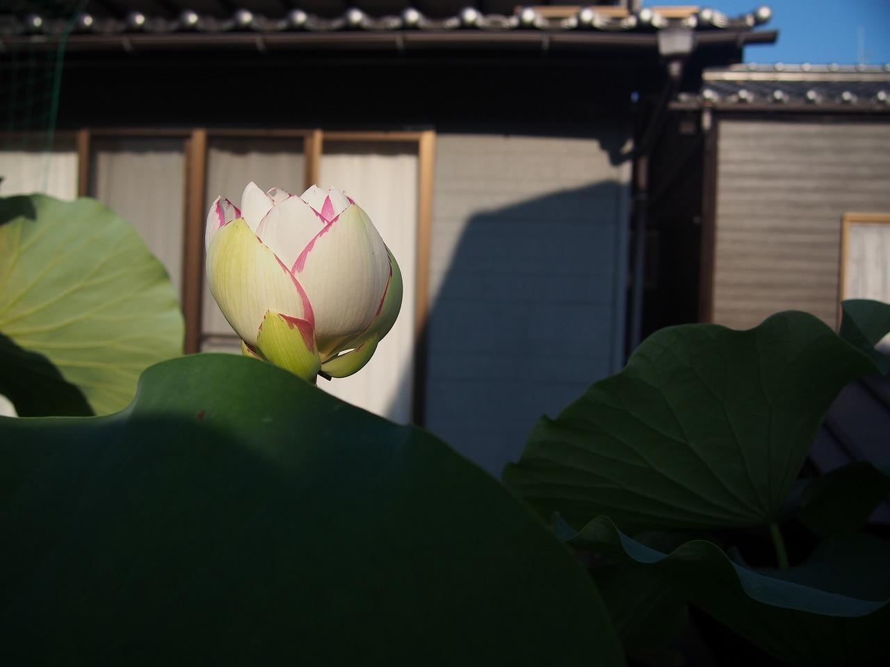 20170720-Lotus_Tenjikumadarabasu-O01.jpg