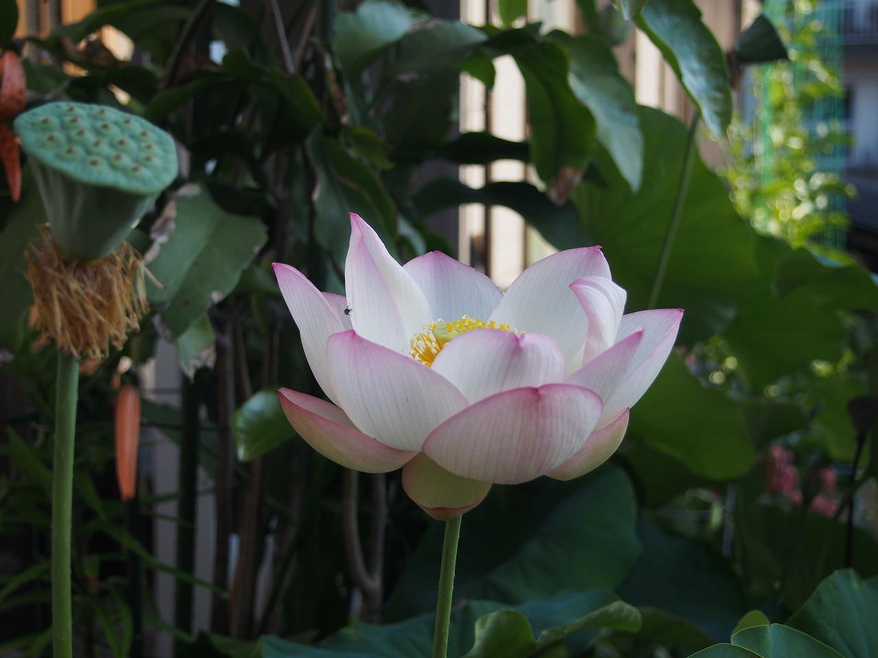 20170720-Lotus_TsumabeniChawanbasu-O01.jpg