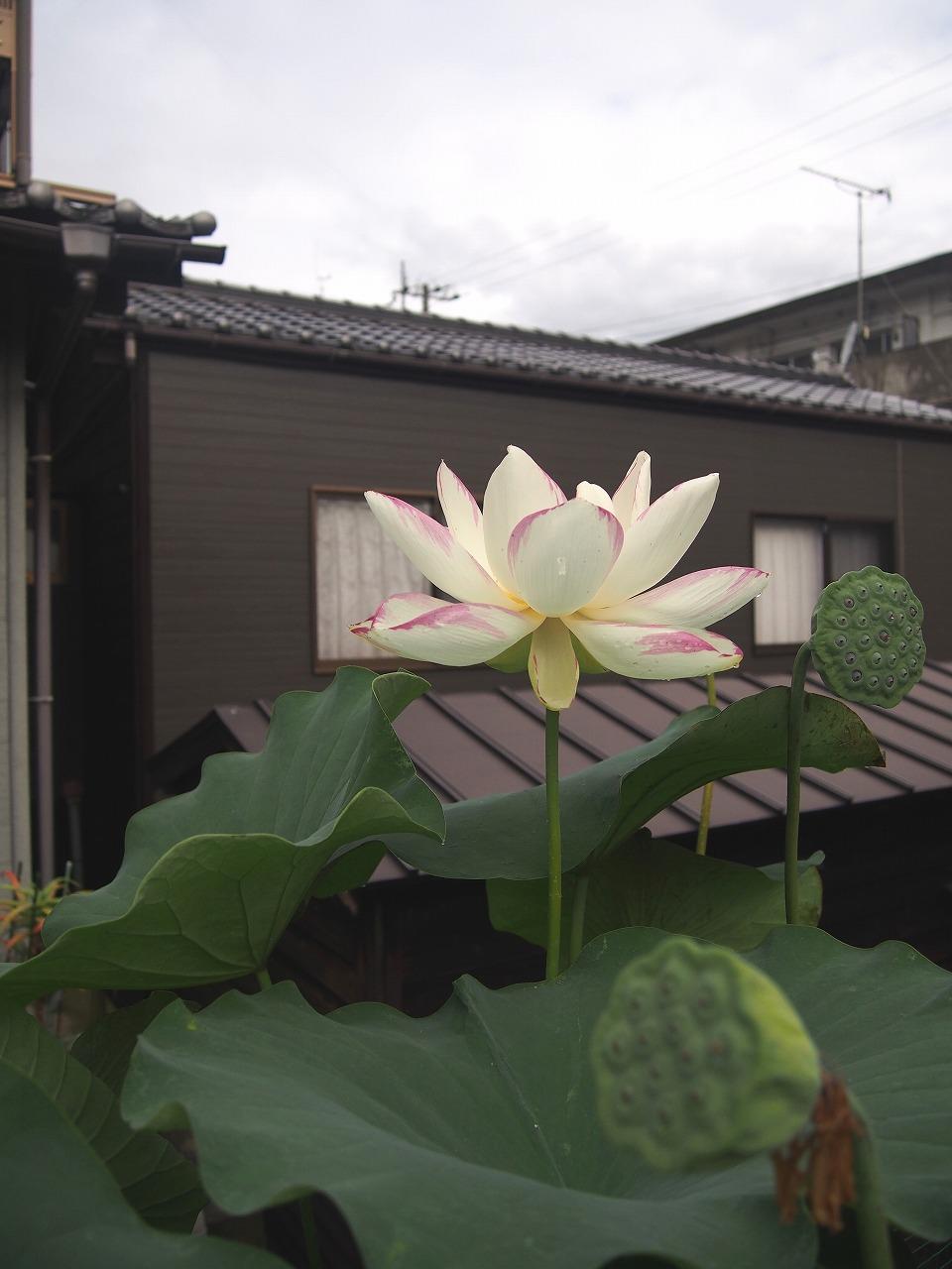 20170726-Lotus_Ittenshikai-O01.jpg