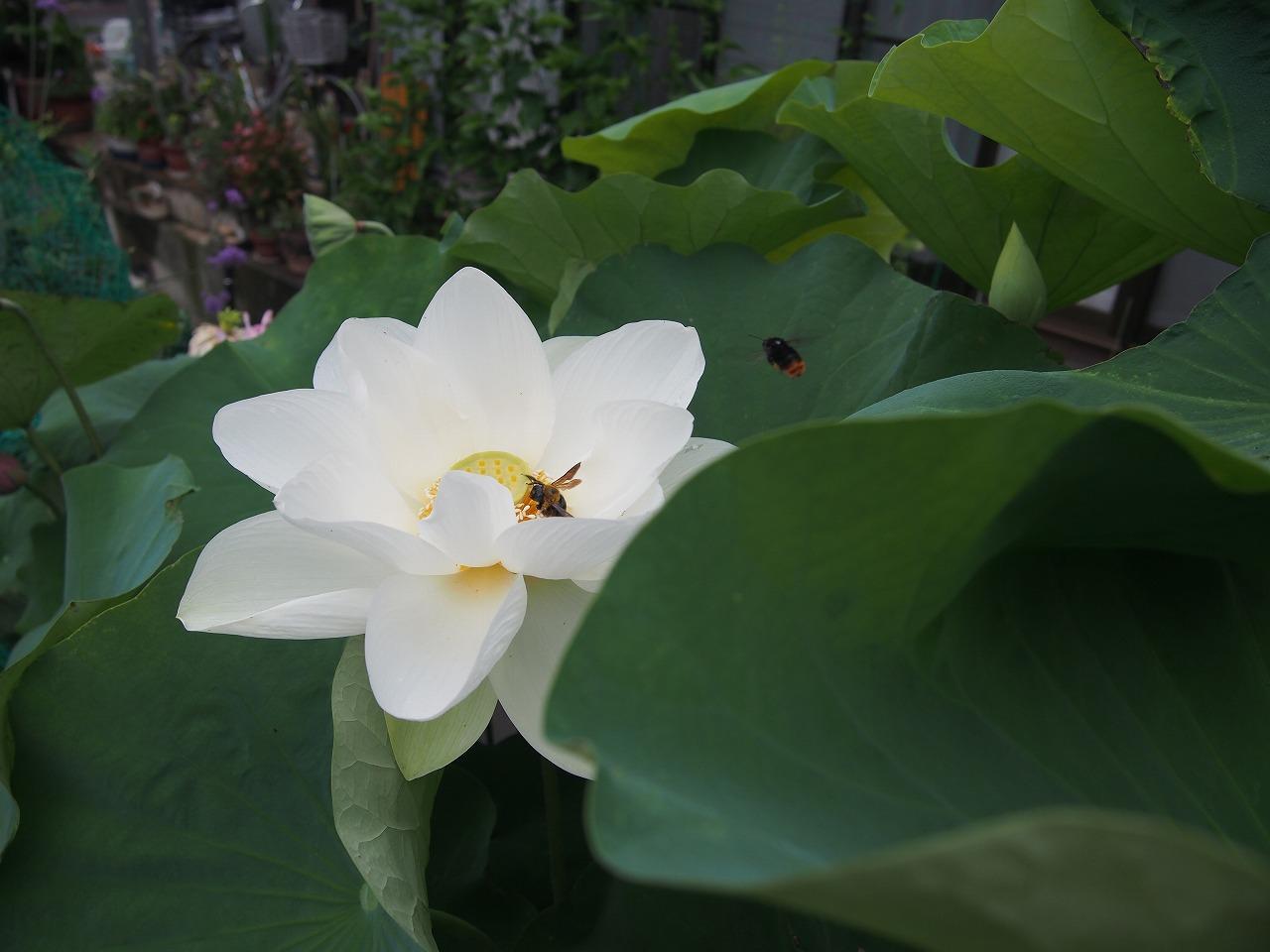 20170728-Lotus_Shinnyoren-O01.jpg