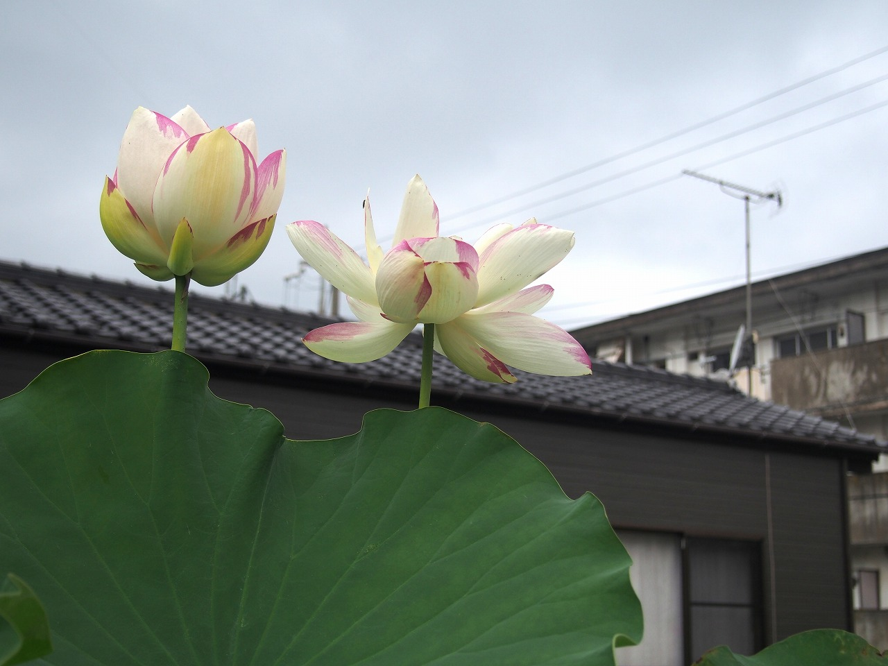 20170729-Lotus_Ittenshikai-O01.jpg