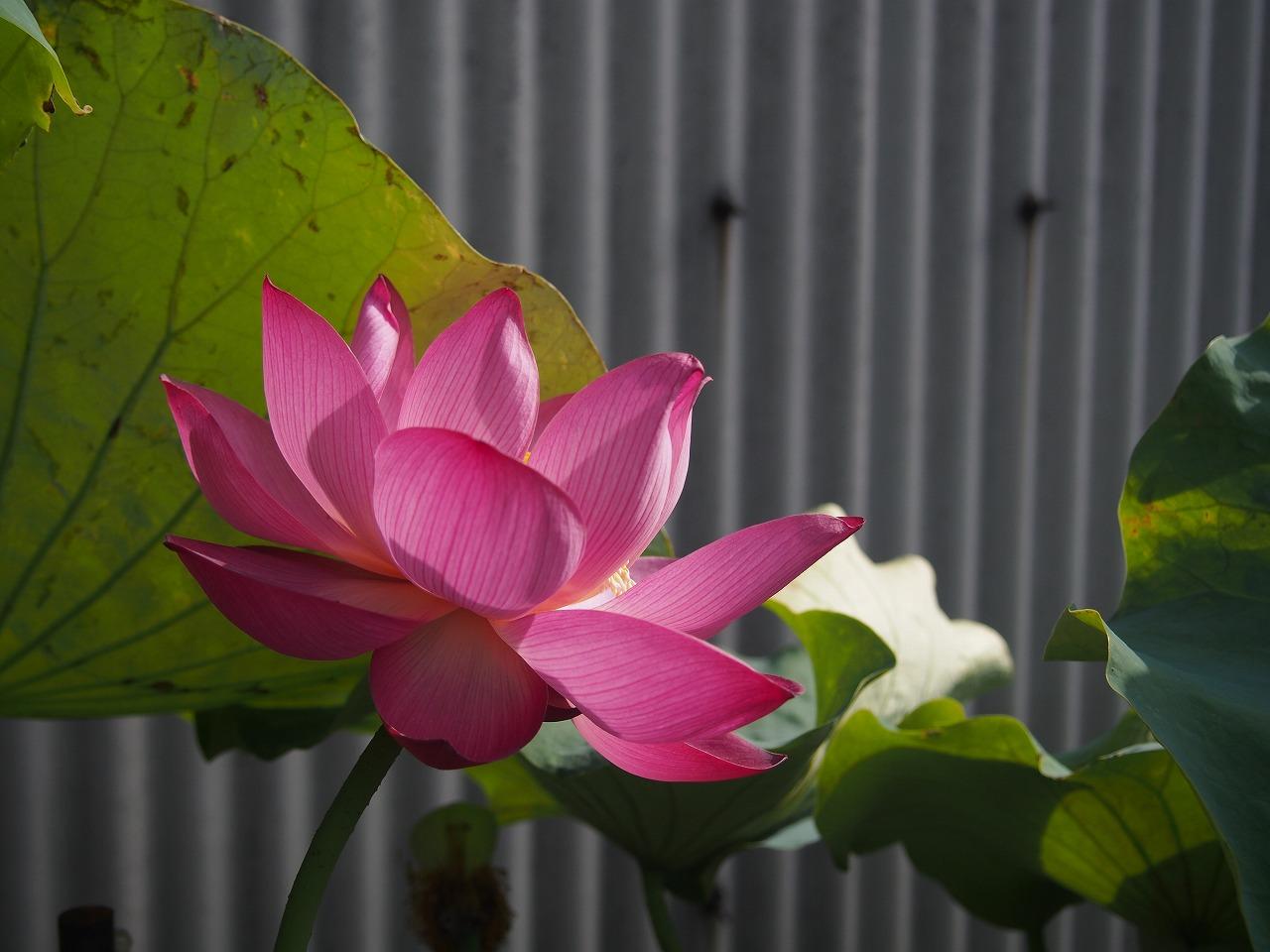 20170730-Lotus_Shokkoren-O01.jpg