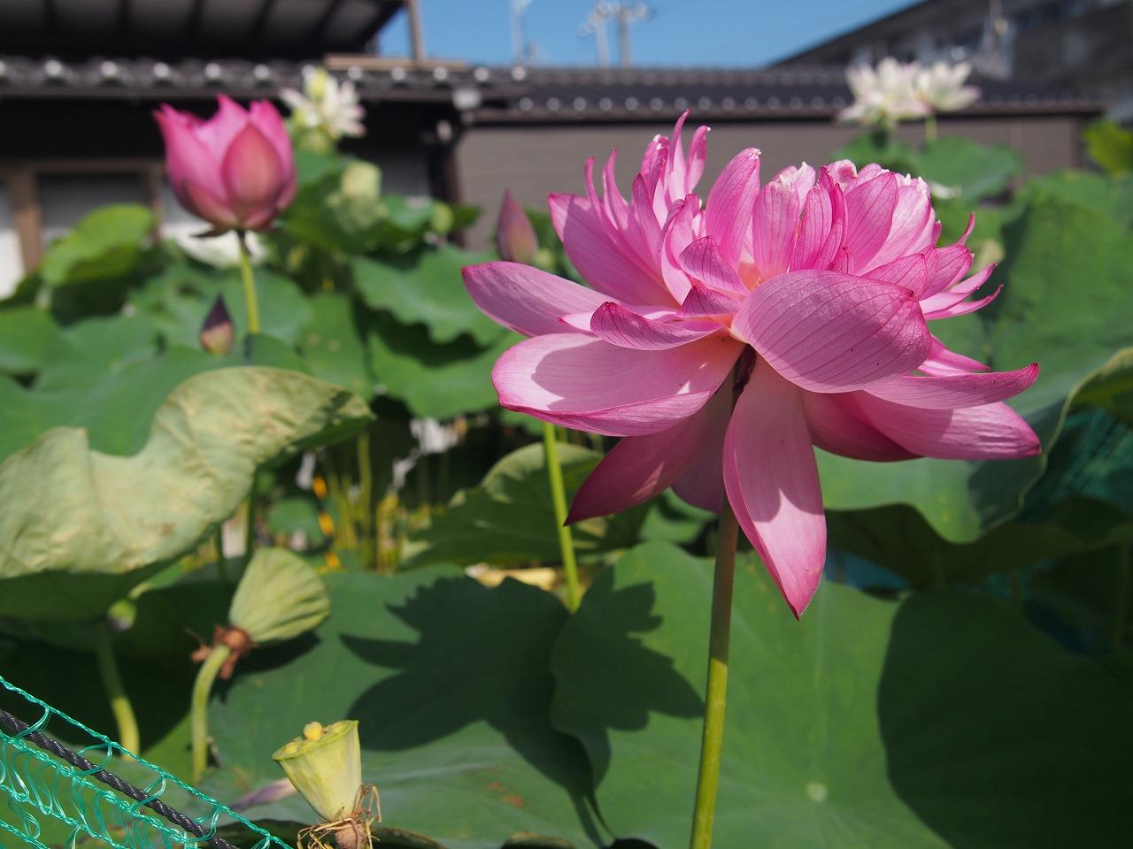 20170730-Lotus_Yaechawanbasu-O01.jpg