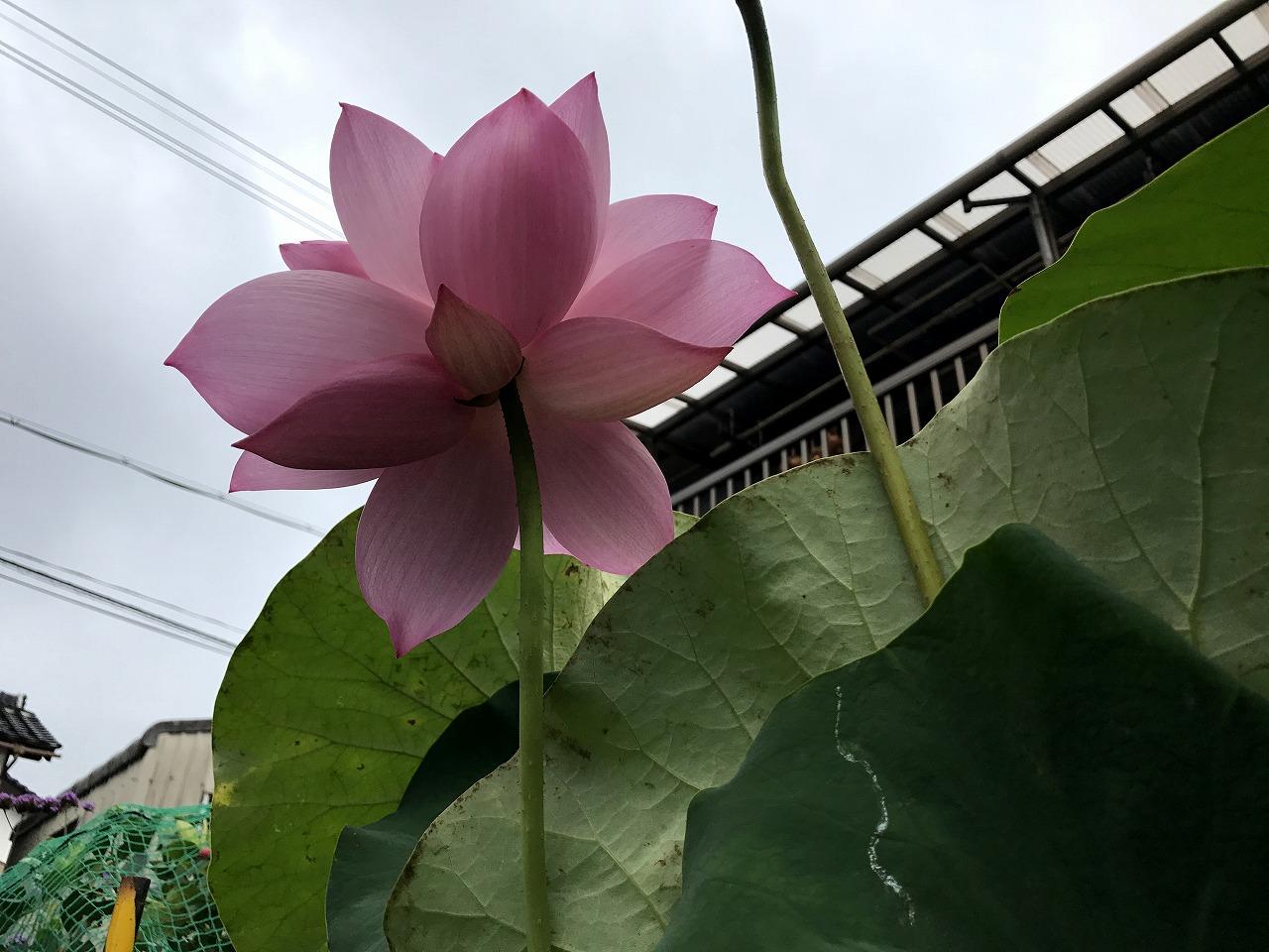 20170801-Lotus_Hishinkou-I03.jpg