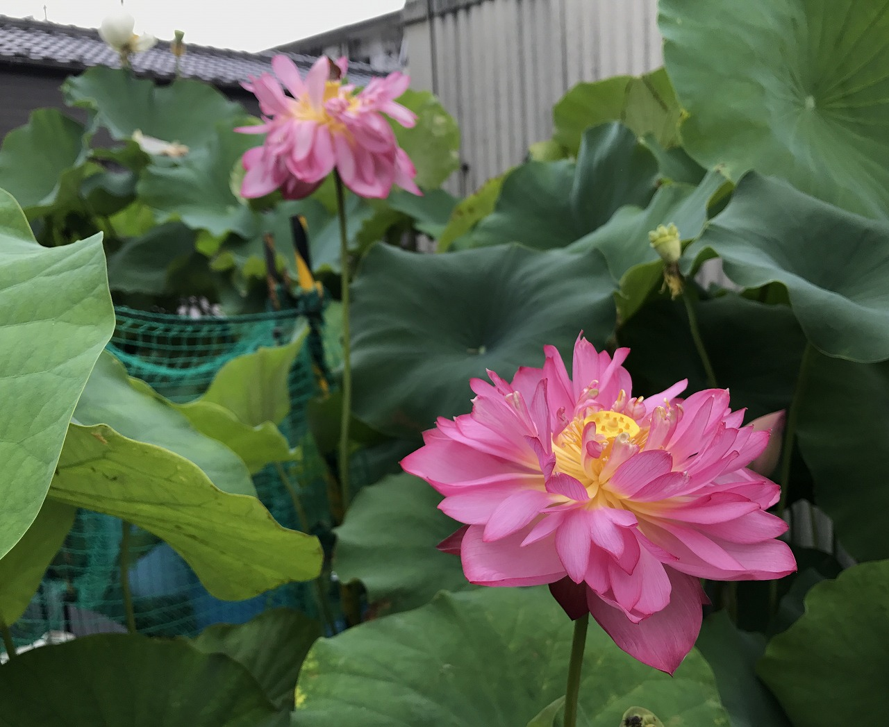 20170801-Lotus_Yaechawanbasu-I02.jpg