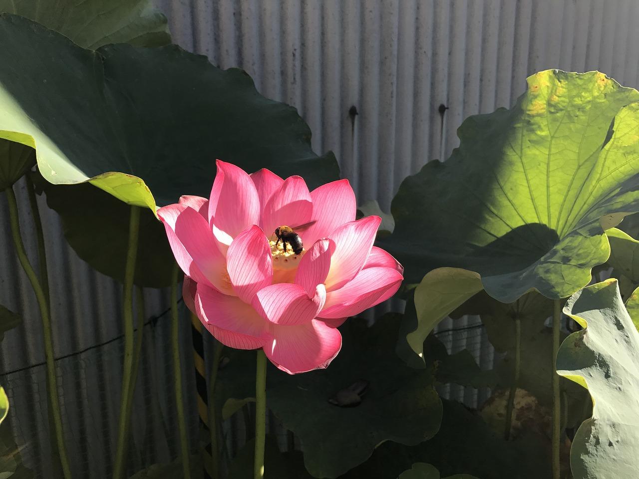 20170804-Lotus_Shokkoren-I01.jpg