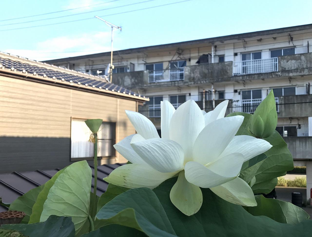 20170806-Lotus_Shinnyoren-I01.jpg