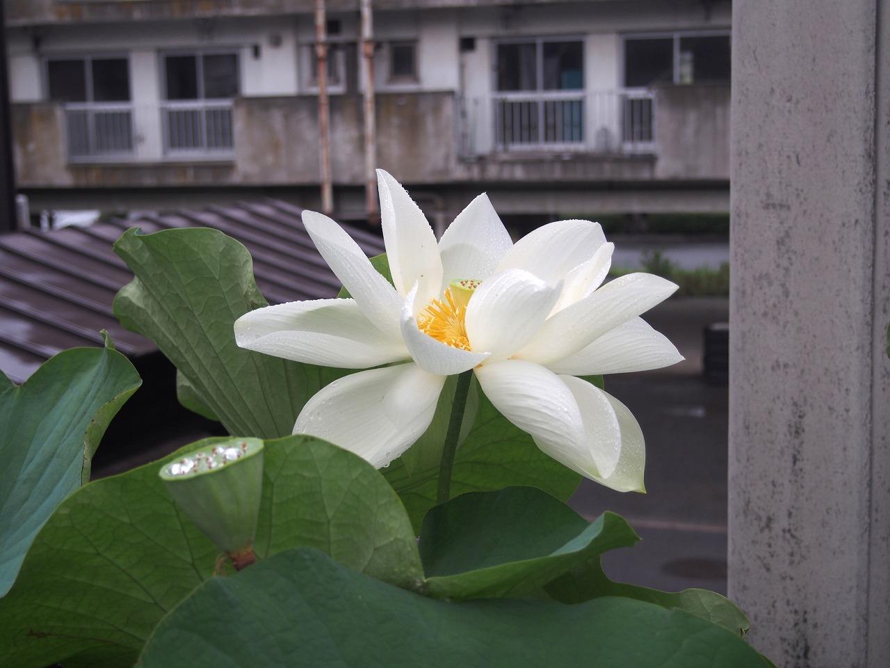 20170810-Lotus_Shinnyoren-O01.jpg