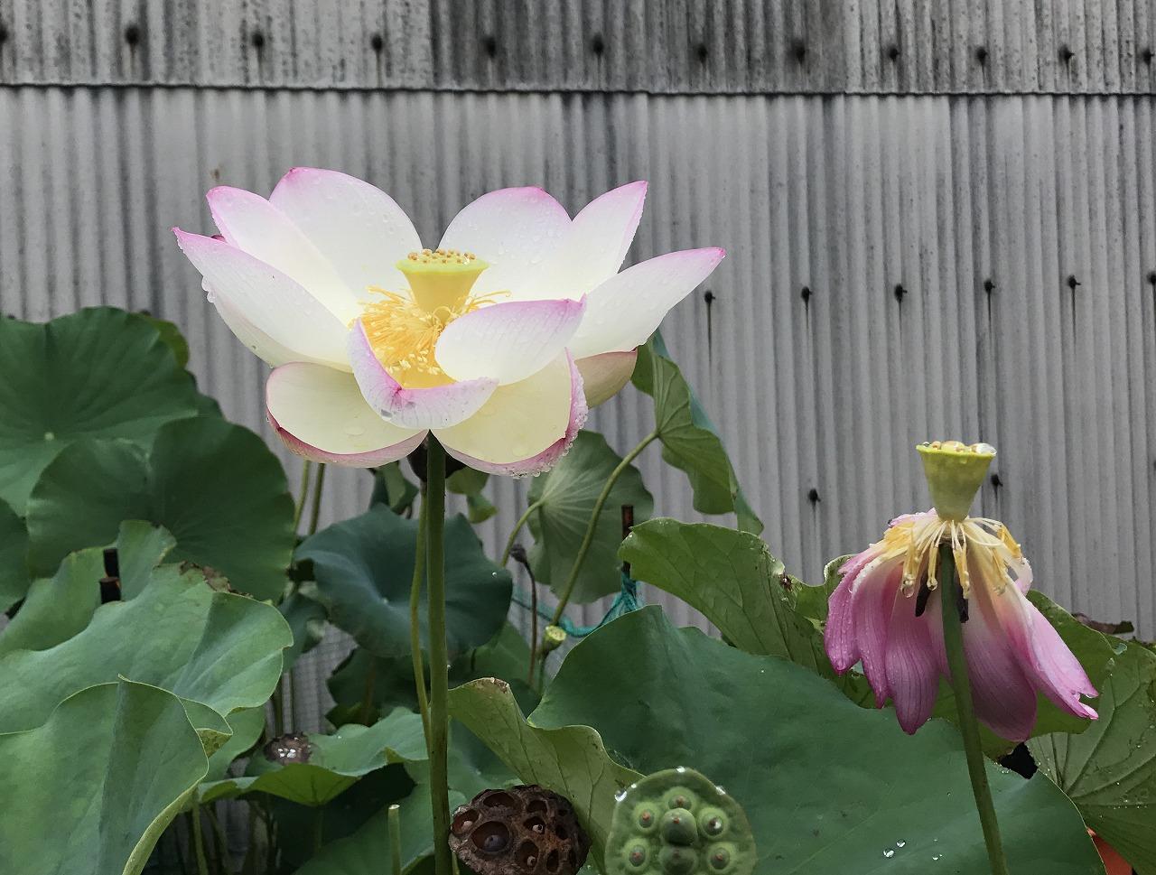 20170814-Lotus_TsumabeniChawanbasu-I01.jpg