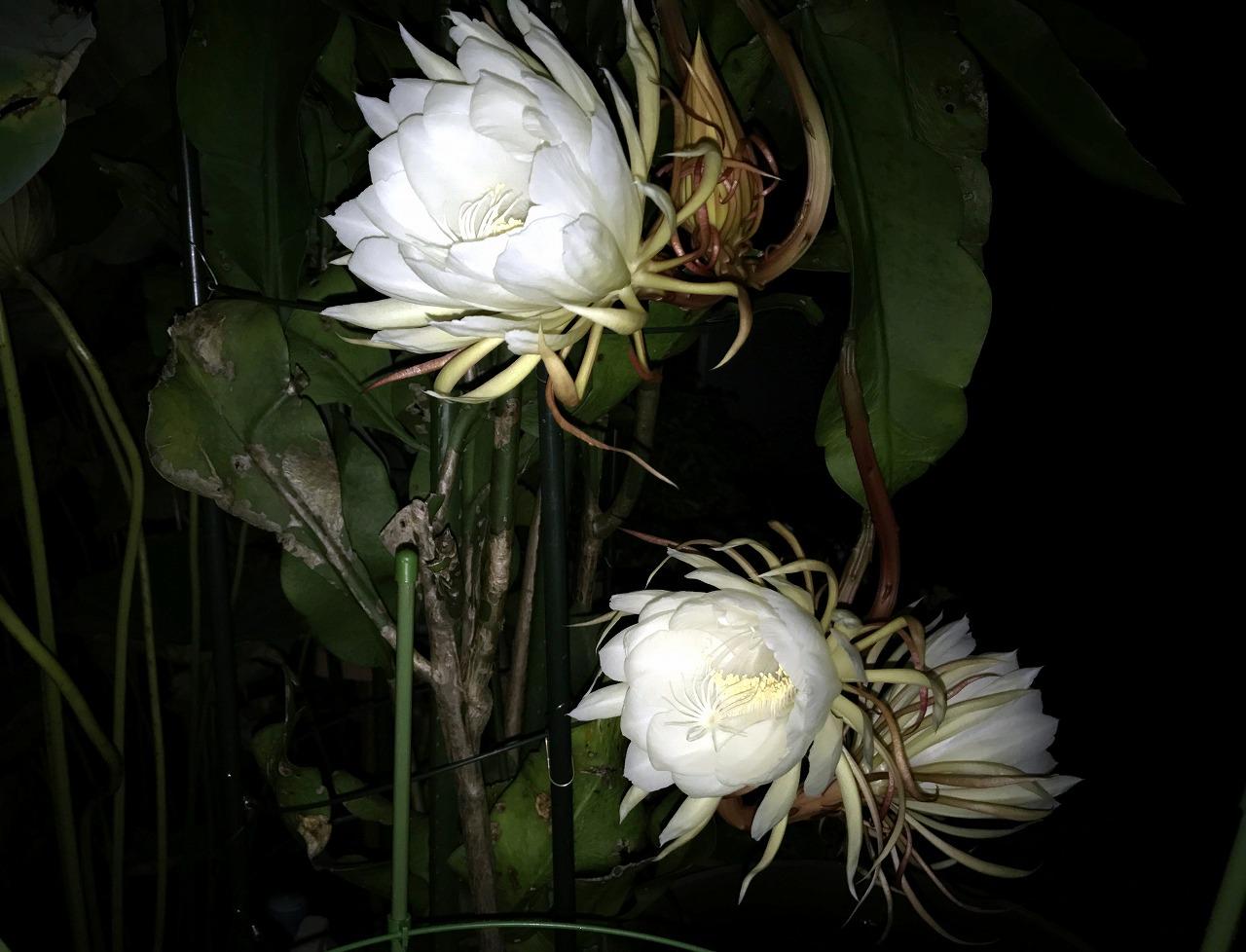 20170818-EpiphyllumOxypetalum-O03.jpg