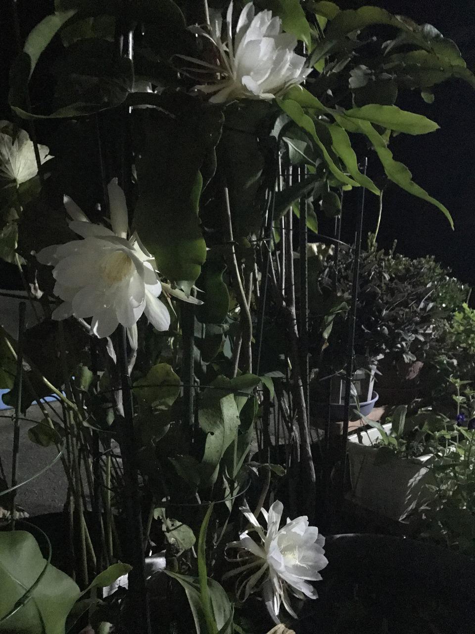 20170820-EpiphyllumOxypetalum-I01.jpg