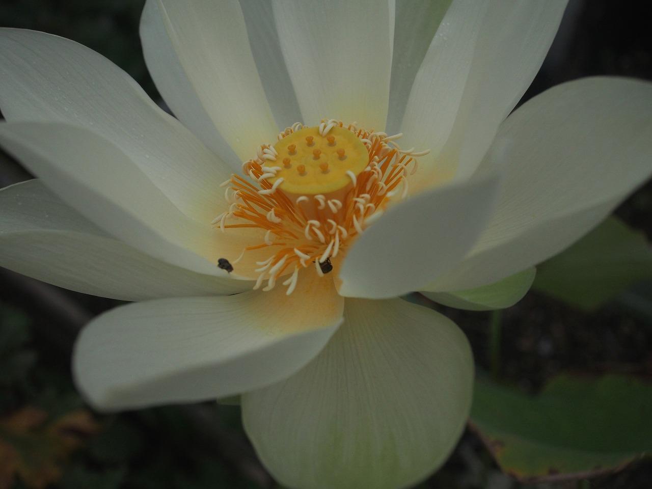 20170822-Lotus_Kougyokuhai-O03.jpg