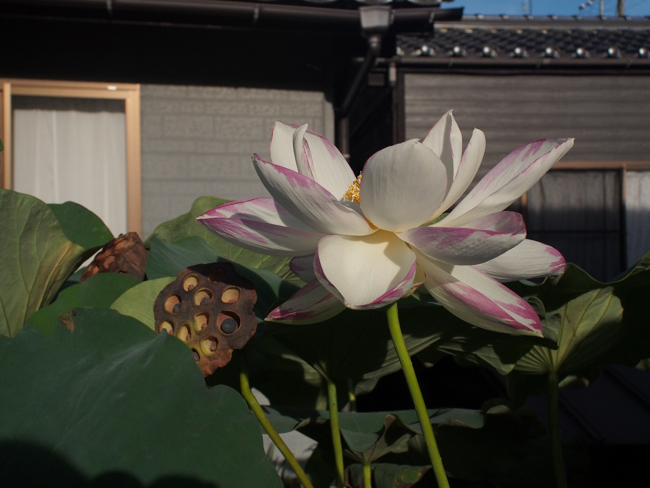 20170825-Lotus_Ittenshikai-O04.jpg