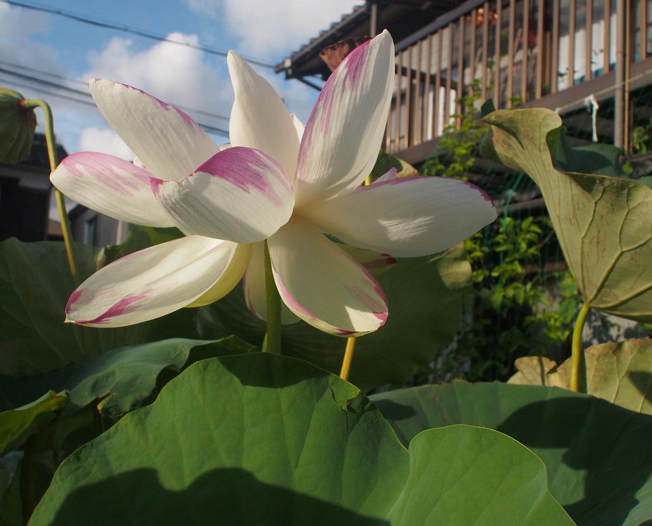 20170825-Lotus_Tenjikumadarabasu-O03.jpg