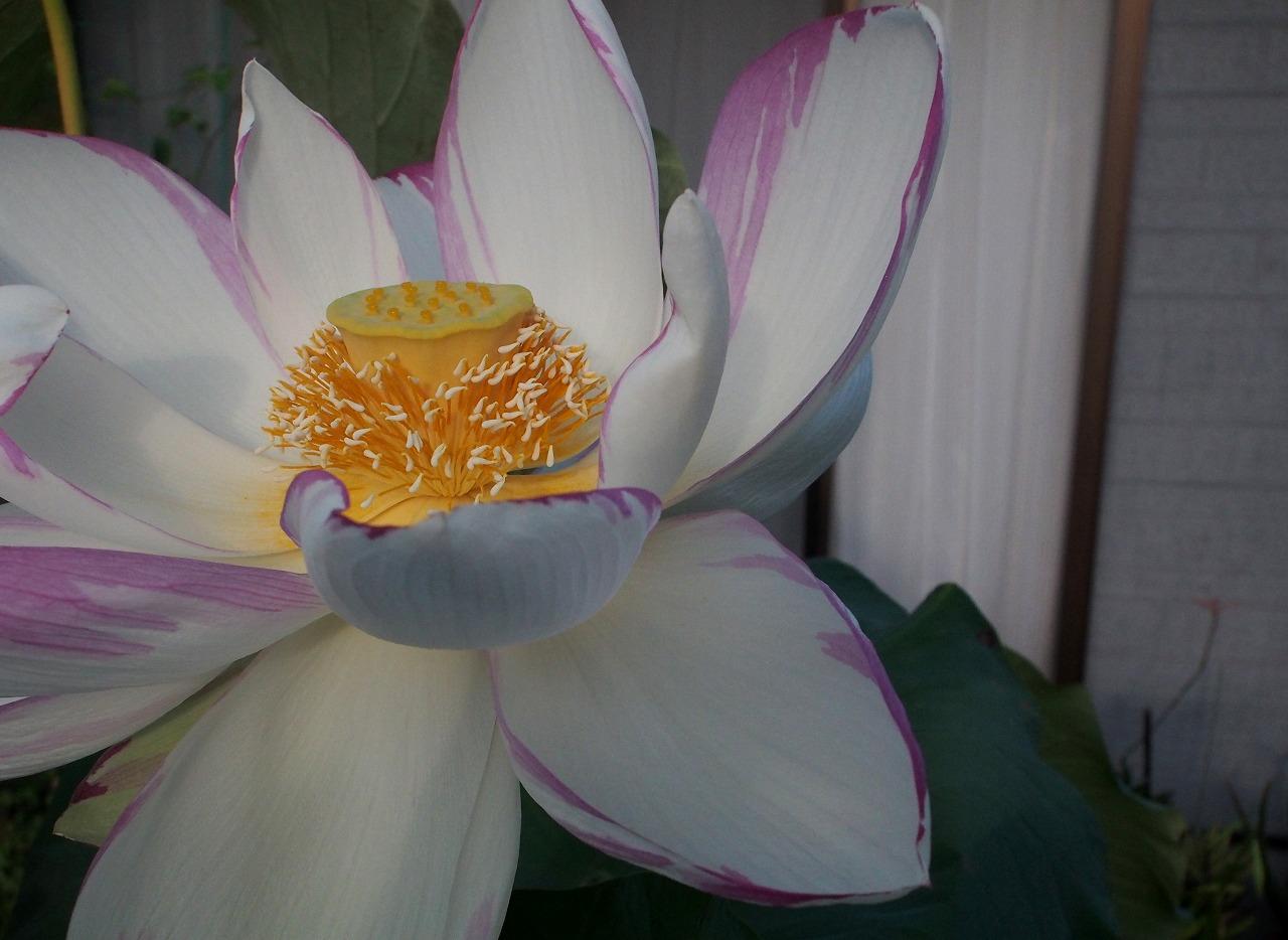 20170825-Lotus_Tenjikumadarabasu-O04.jpg