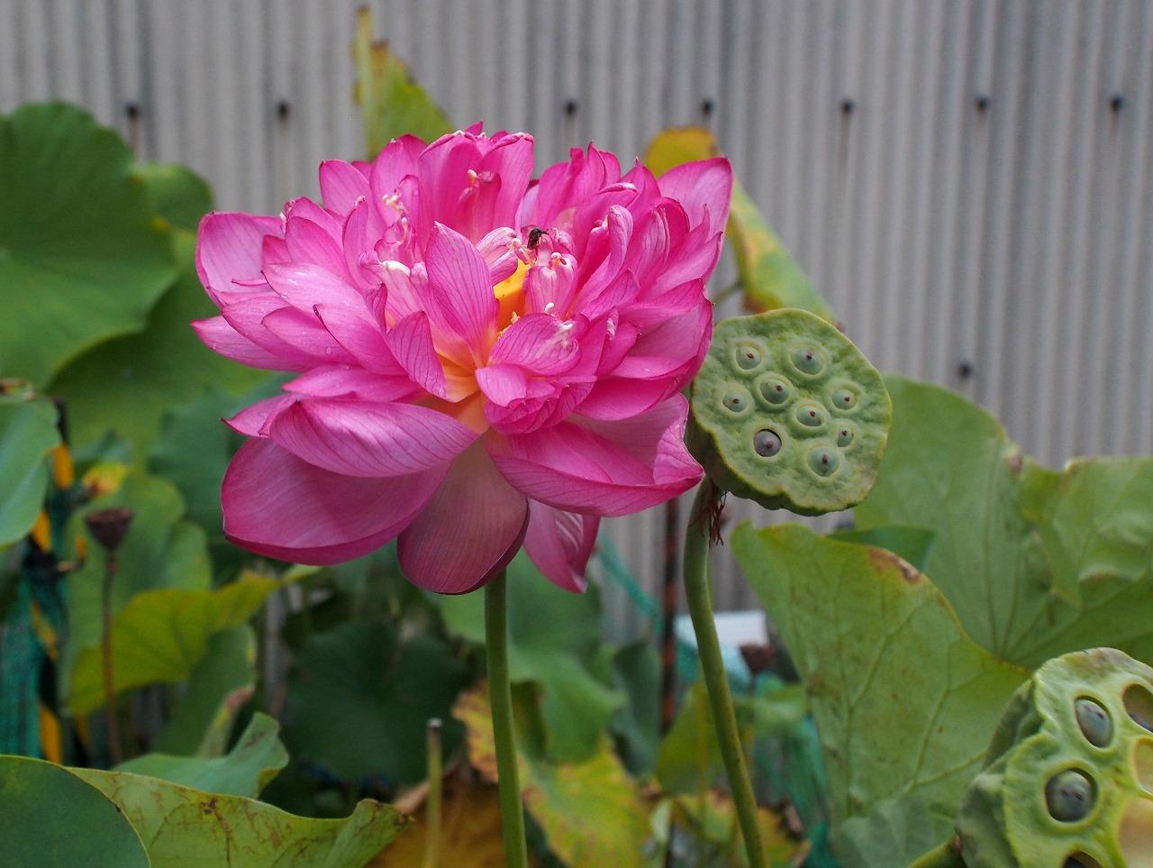20170902-Lotus_Yaechawanbasu-O03.jpg