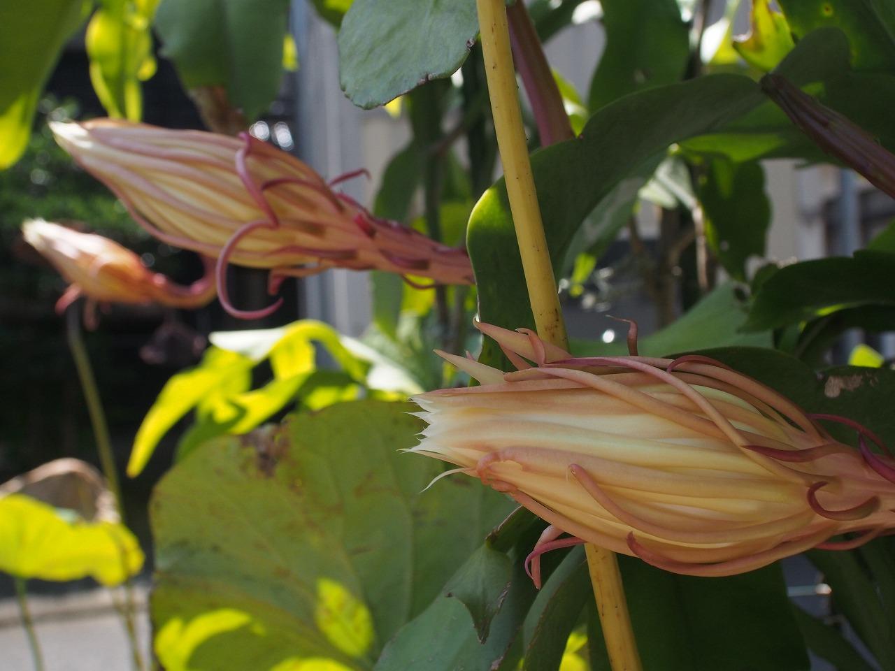 20170909-EpiphyllumOxpetalum-O02.jpg