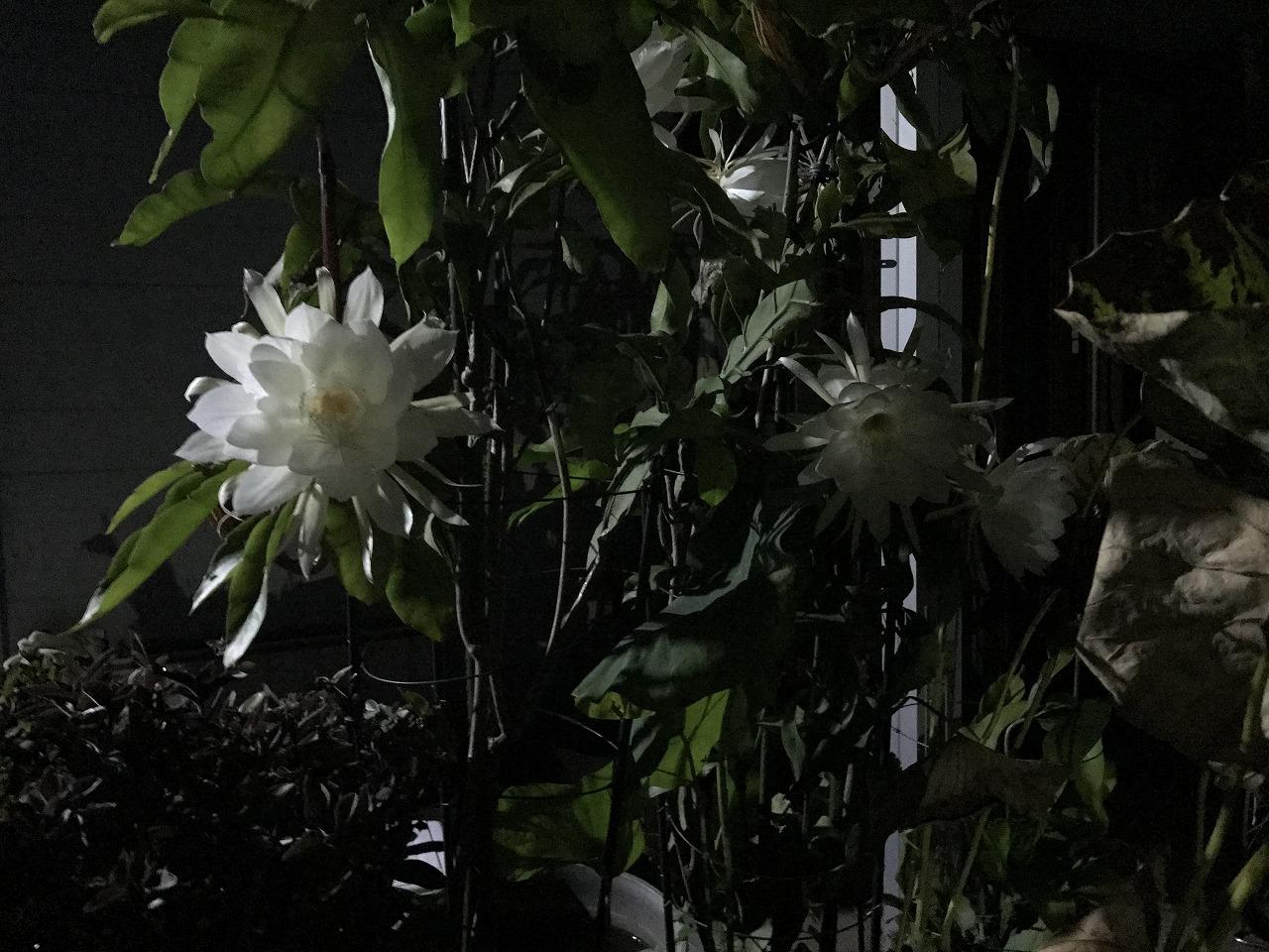 20170910-01-EpiphyllumOxpetalum-I10.jpg