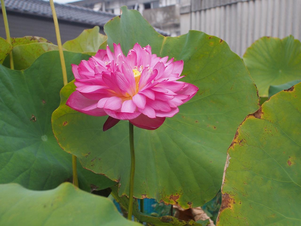 20170911-Lotus_Yaechawanbasu-O01.jpg