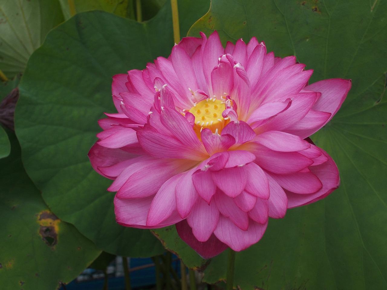20170911-Lotus_Yaechawanbasu-O03.jpg