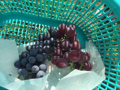 勝沼超穴場試食ができるぶどう狩り農園直売所無農薬栽培日本一安全安心な葡萄お取り寄せ