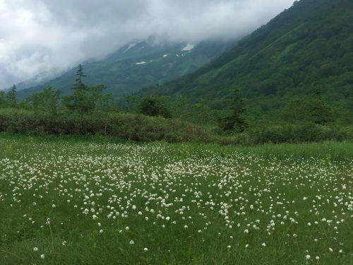 ワタスゲと背景の高山