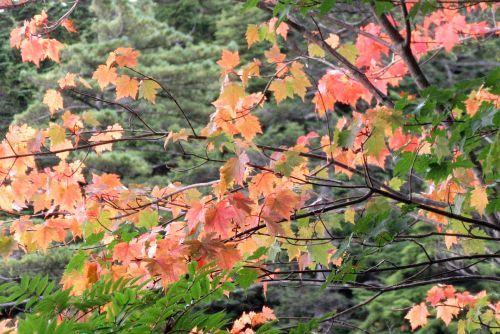 オガラバナ紅葉