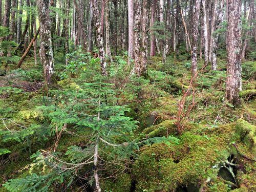 シラビソ原生林