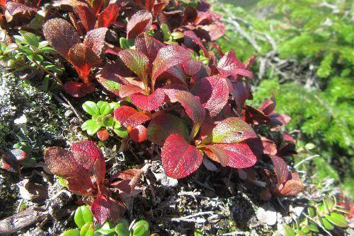 ウラシマツツジ紅葉