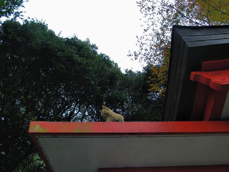 神社屋根と茶トラ猫1