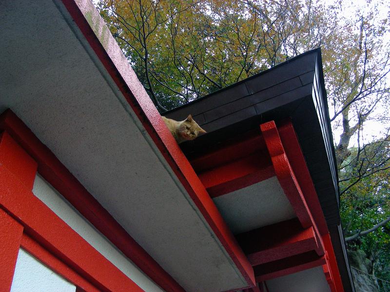 神社屋根と茶トラ猫2