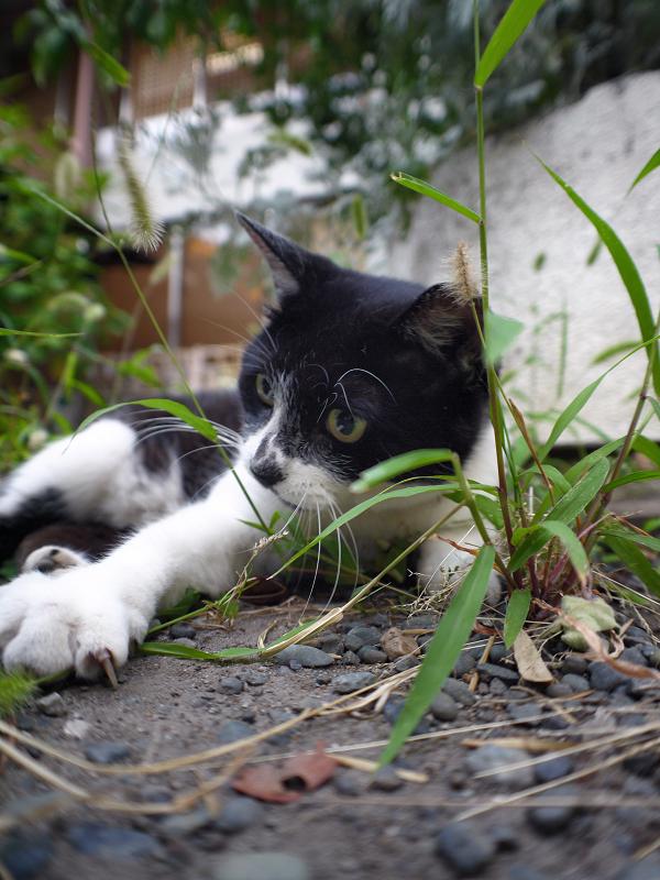 エノコログサと遊ぶ白黒猫1