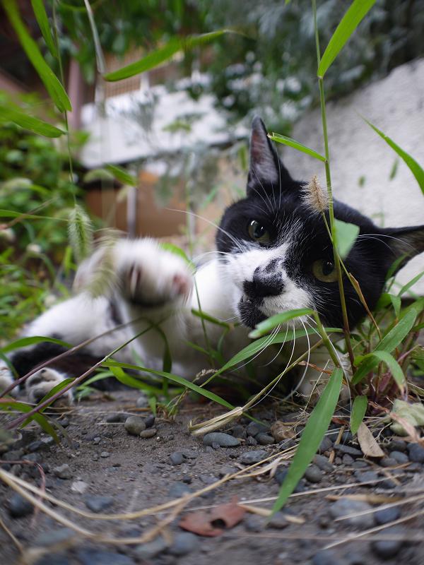 エノコログサと遊ぶ白黒猫2