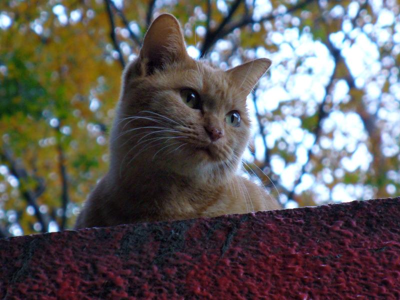 神社屋根と茶トラ猫3