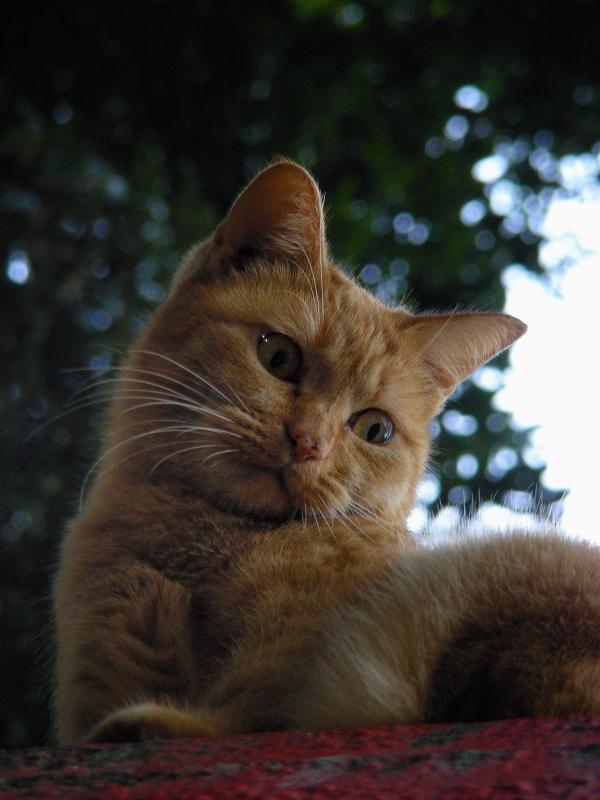 神社屋根と茶トラ猫4