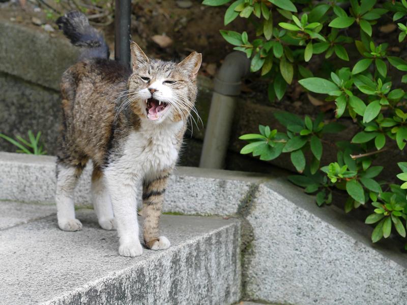 階段で鳴くキジ白猫1