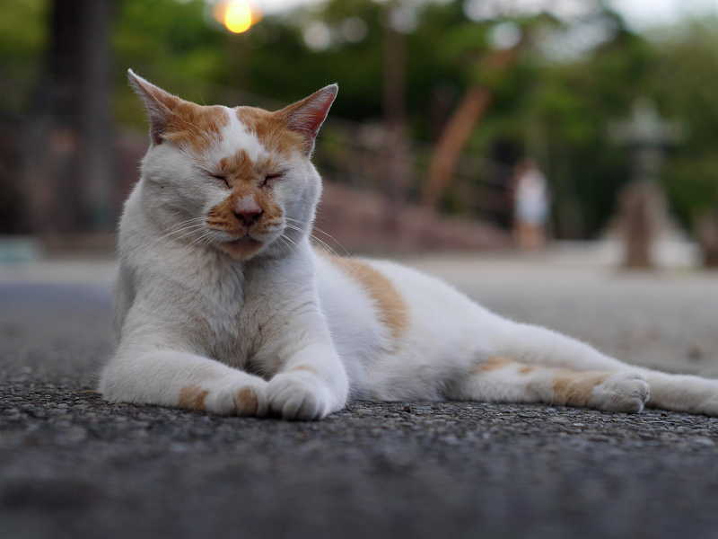 夕暮れの境内の茶白猫