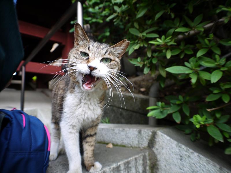 階段で鳴くキジ白猫2