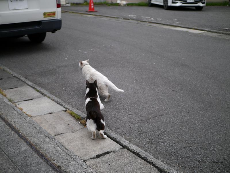 白猫を追いかける黒白猫1
