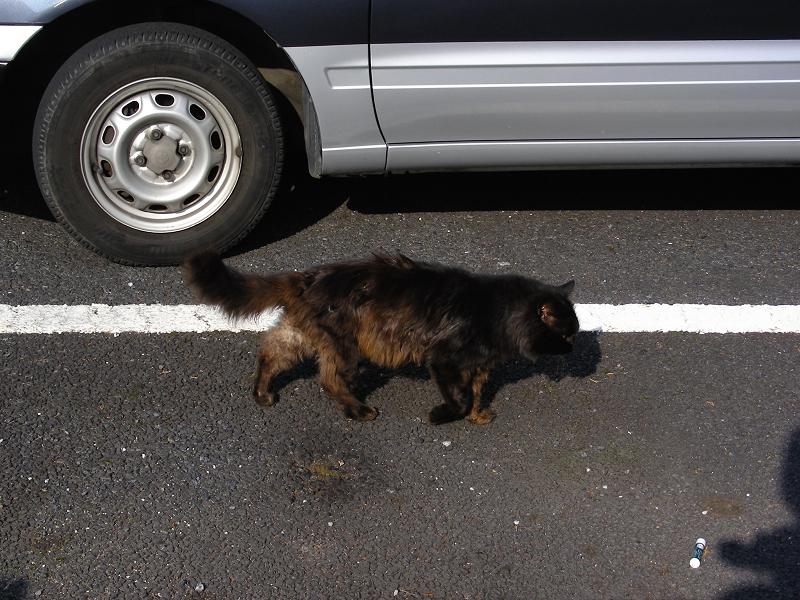 駐車場の毛長の黒猫1