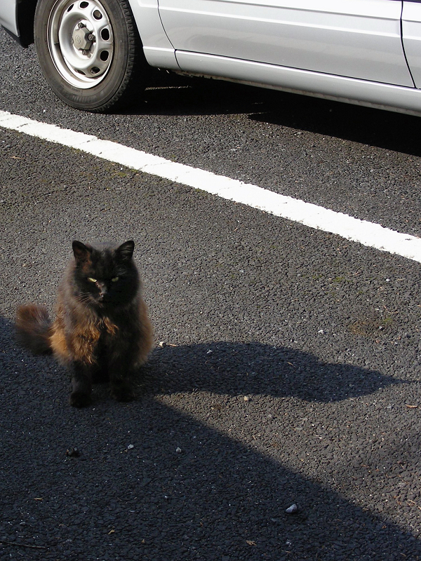 駐車場の毛長の黒猫2