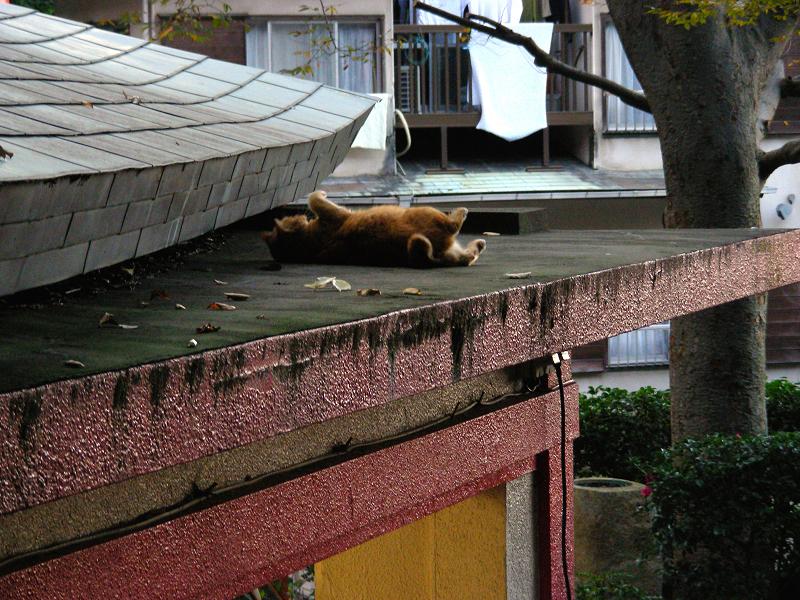 神社屋根で転がる茶トラ猫