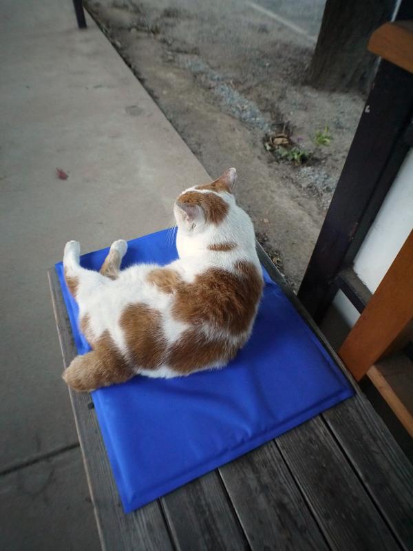 冷感シートとベンチの茶白猫1