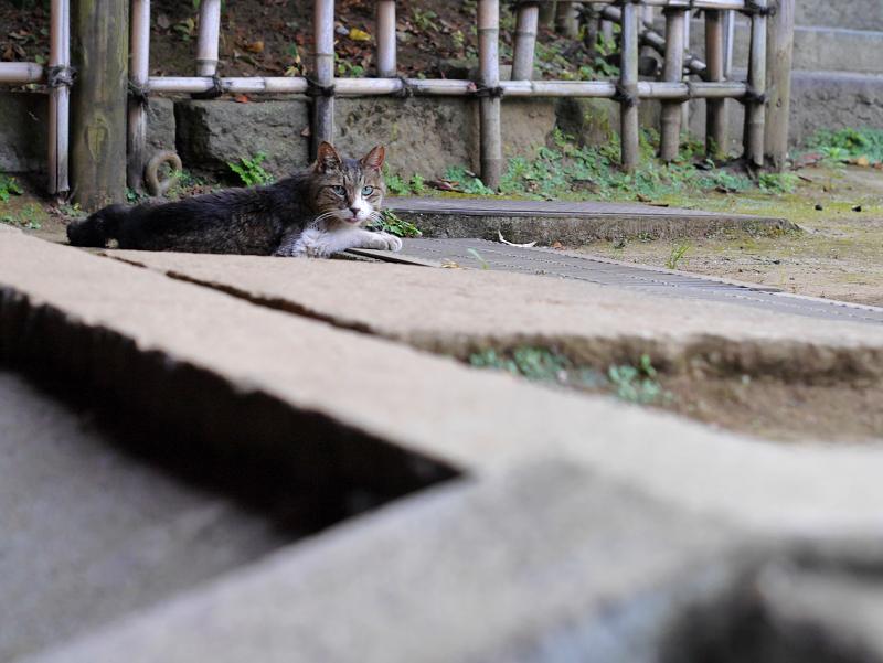 グレーチングで休憩中のキジ白猫3